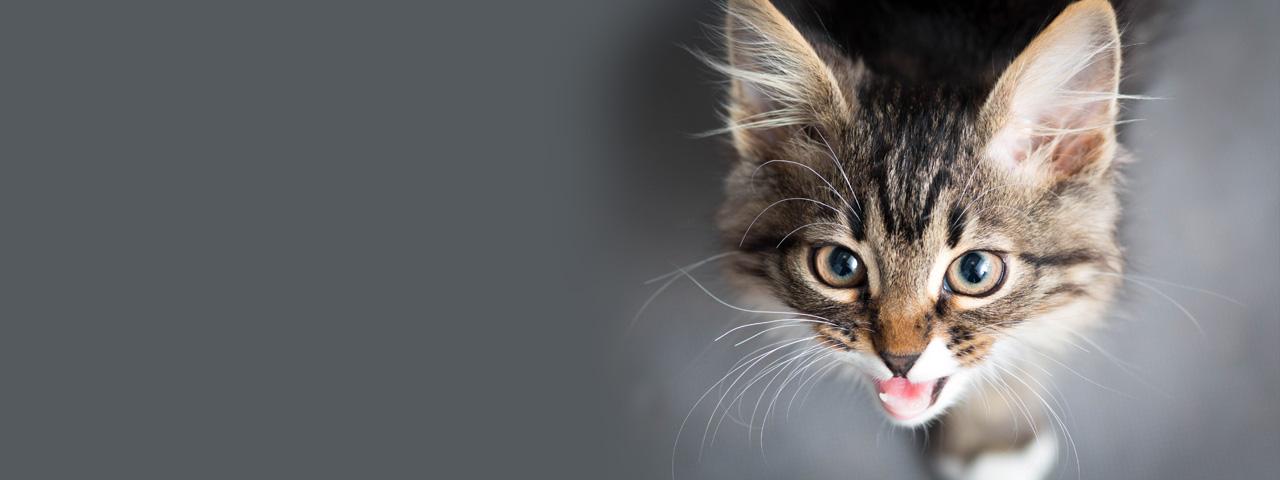 猫 鳴く よう に なっ た